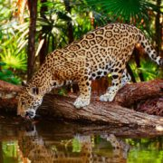 Scientific Jaguar Tour Private