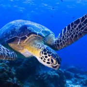 swim with marine turtles cancun